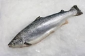 Obrázek pro kategorii ryby