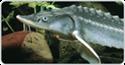 Obrázek pro kategorii Krmivo pro generační ryby