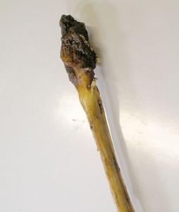 Picture of Sušený penis řezaný 12cm - II. jakost